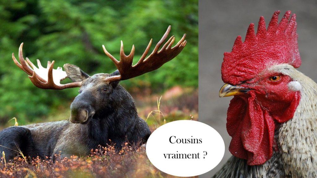 le coq et l'orignal, deux animaux symbôles qui personnifient les différences culturelles entre français et québécois