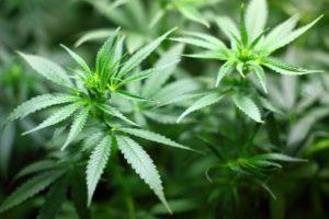 la fleur de cannabis produit une drogue qui a été légalisé au Canada