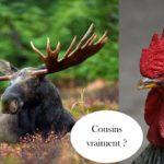 le coq et l'orignal, deux animaux symbôles qui personnifient les différences culturelles entre français et quebecois
